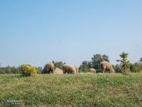 Owieczki w Działoszynie