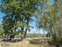 Stare drzewa, które przetrwały wielki pożar