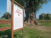 Topola Tekla przy zamku w Chudowie