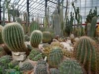 Setki kaktusów w gliwickiej Palmiarni