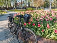 Tulipany w centralnym punkcie placu Pod Lipami