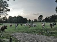 Pasące się krowy tuż przy szlaku