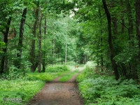 Sarna w Lesie Murckowskim