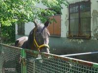 Koń z Katowickiego Klubu Jeździeckiego