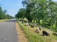 Owce przy drodze
