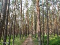 W okolicach Zalewu Szczecińskiego szlak często prowadzi przez lasy