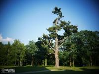 Takie drzewko przed Zamkiem w Mosznej